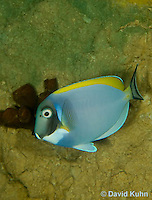0516-1001  Powder Blue Surgeon Fish (Powder Blue Tang), Acanthurus leucosternon  © David Kuhn/Dwight Kuhn Photography