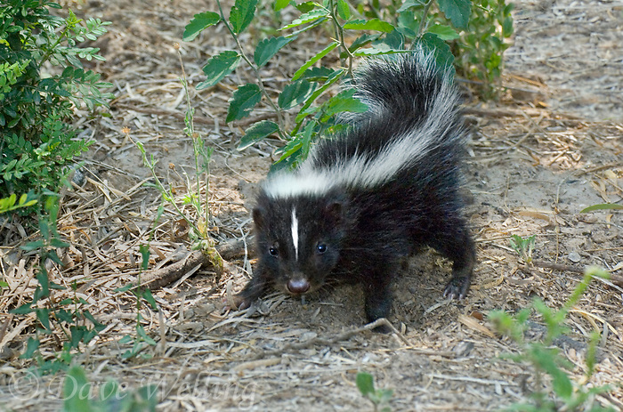 678860002c a wild very young striped skunk mephitis mephitis on a private ranch in starr county in the rio grande valley of south texas