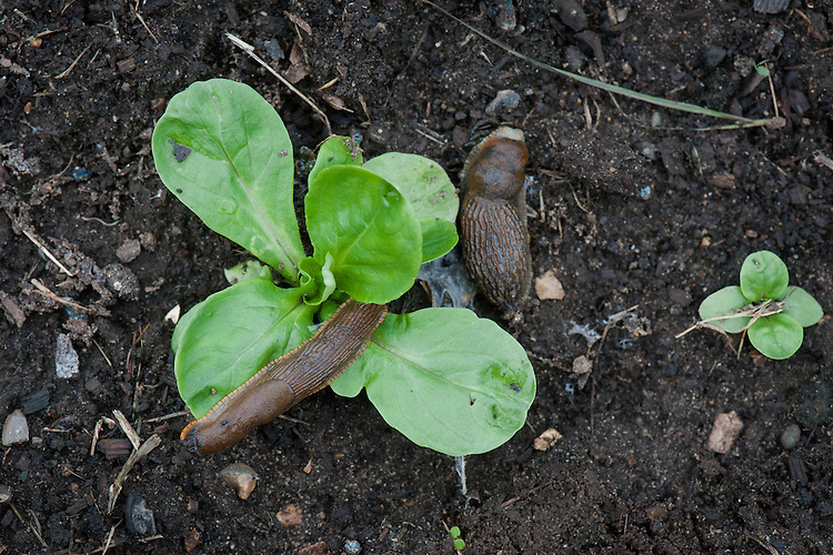 Slugs eating Lamb's lettuce seedling
