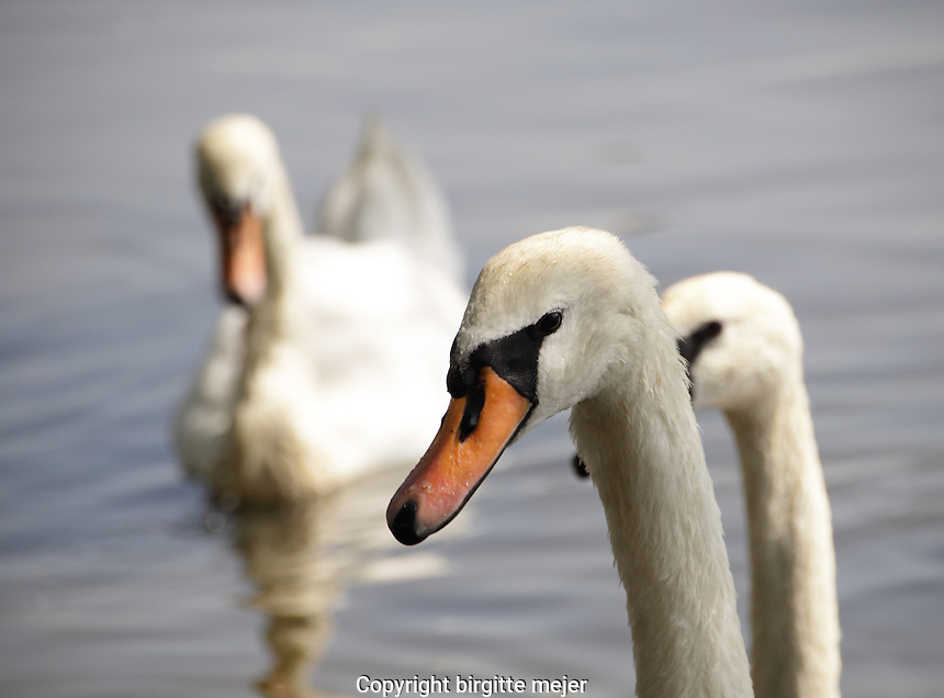 3 Swans, one photographed as a head shot, on the river in the summer.