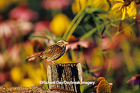01575-00919 Song Sparrow (Melospiza Melodia) on fence post near flower garden, Marion Co.  IL