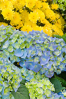 Hydrangea macrophylla 'Everlasting Revolution' with yellow chrysanthemum