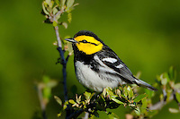 Golden-cheeked Warbler, Killeen, Texas
