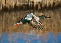 Northern Shoveler (Anas clypeata), male in flight, Bosque del Apache National Wildlife Refuge , New Mexico, USA,