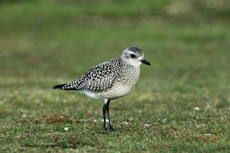 Grey Plover Pluvialis squatarola L 28cm. Plump-bodied coastal wader. Best known in winter plumage but breeding plumage sometimes seen in newly-arrived, or shortly-to-depart, migrants. In flight, note black 'armpits' on otherwise white underwings. Typically solitary. Sexes are similar. Adult in winter looks overall grey but upperparts are spangled with black and white and underparts are whitish. Legs and bill are dark. In summer plumage, has striking black underparts (sometimes rather mottled in females) separated from spangled grey upperparts by broad white band. Juvenile resembles winter adult but has buff wash to plumage. Voice Utters diagnostic, trisyllabic pee-oo-ee call, like a human wolf-whistle. Status Nests in high Arctic; coastal, non-breeding visitor to Britain and Ireland.
