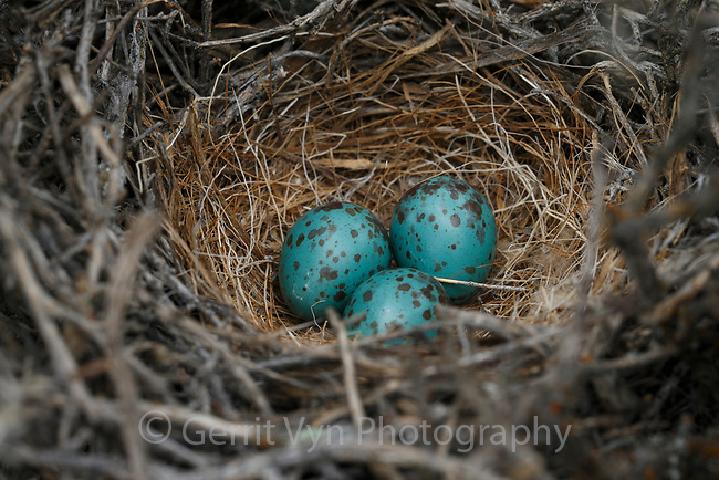 Sage Thrasher nest and eggs (Oreoscoptes montanus). Sublette County, Wyoming. May.