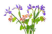 30099-00718 Blue Flag Iris, Dropmore Scarlet Honeysuckle (high key white background) Marion Co. IL