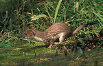 Stoat, Mustela erminea, in pond, wet, captive, fierce predator,.United Kingdom....