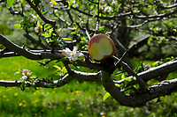 Apple with apple blossom in Apple orchard, spring, Maine, USA
