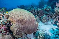 Symmetrical Brain Coral, Diploria strigosa, Bonaire, Netherland Antilles, Netherlands, Caribbean Sea, Atlantic Ocean