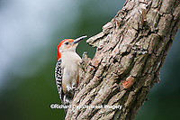 01196-03316 Red-bellied Woodpecker (Melanerpes carolinus) female on snag, Marion Co., IL
