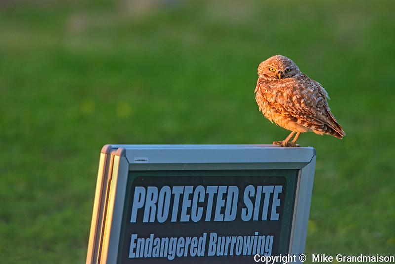 Burrowing Owl (Athene cunicularia) on sign  in grasslands, Grasslands National Park, Saskatchewan, Canada