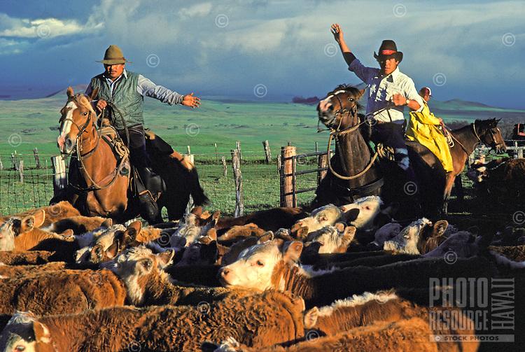 Paniolos (Hawaiian cowboys) on horseback, herding cattle at Parker Ranch, Waimea (Kamuela)