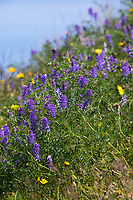 Vogel-Wicke, Vogelwicke, Wicke, Vicia cracca, tufted vetch, cow vetch, bird vetch, blue vetch, boreal vetch, La Vesce craque