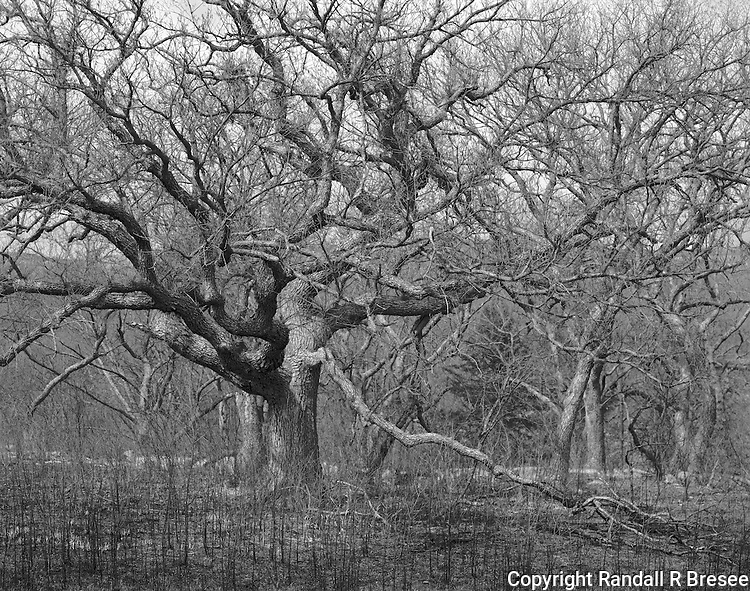 &quot;Oak Trees&quot; Konza Prairie Biological Station, Kansas<br /> <br /> The 8,600 acre Konza Prairie Biological Station was established as a field station for ecological research in the tallgrass prairie region of the Flint Hills in northeastern Kansas. Konza serves as both a prairie preserve and unique outdoor laboratory for scientific research. This photograph shows a stand of oak trees that are present on the prairie preserve.