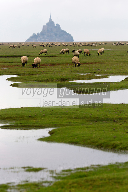 Europe/France/Basse-Normandie/50/Manche/Baie du Mont-Saint-Michel/Bas-Courtils:   moutons de pré-salé   //  France, Manche, Bay of Mont Saint Michel, Bas-Courtils:  tidal marsh meadows sheep