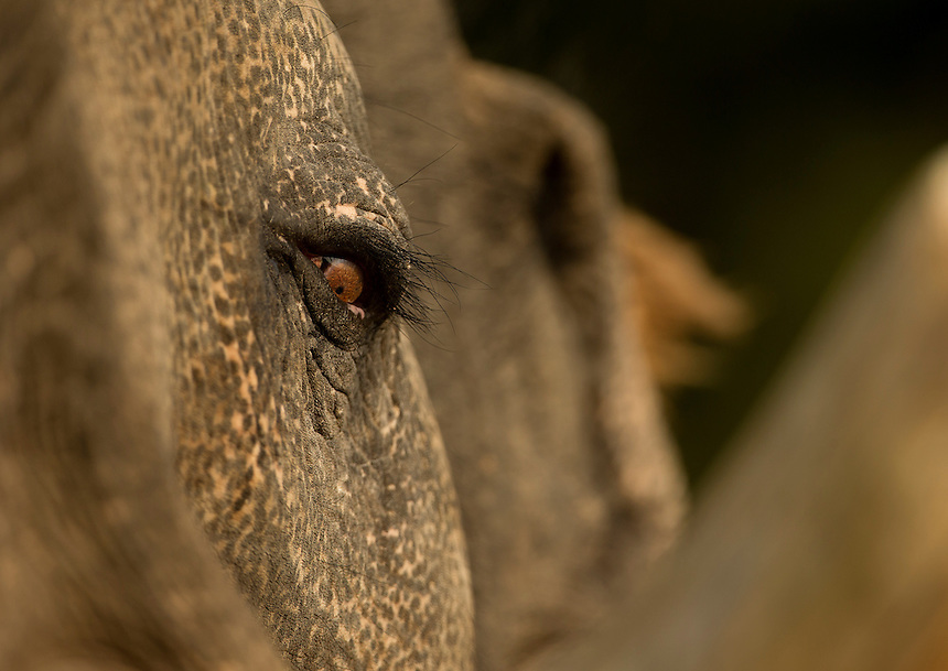 Close up of captive Indian elephant face (Elephas maximus) Bandhavgarh National Park, India, February 2013