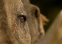 Close up of captive Indian elephant face (Elephas maximus) Bandhavgarh National Park, India, February 2013