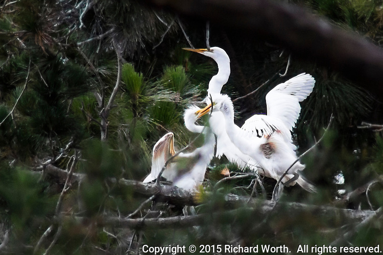 Whle an adult Great egret appears to focus on something in the distance, two juveniles have locked bills in what appears to be mortal combat, but is more likely sibling testing and play.