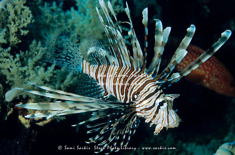 Lionfish swimming among coral at Elphinstone Reef in the Red Sea, Egypt.