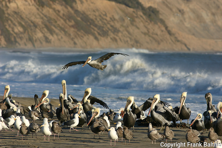 Brown pelicans and gulls at Cove Beach at Ano Nuevo SR