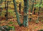 Beech forest, Fall landscape, Helsingborg region, Sweden