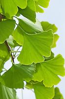 Ginkgo, Mädchenhaarbaum, Fächertanne, Blatt, Blätter, Ginkgo biloba, Maidenhair Tree, Arbre aux quarante écus, Ginko, Gingko