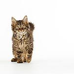 Judi - Maine Coon Kittens