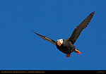 Tufted Puffin in Flight, Duck Island, Puffin Island, Tuxedni Bay, Cook Inlet, Alaska