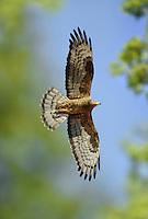 Honey-buzzard - Pernis apivorus