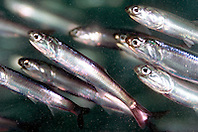 northern anchovy (c), .Engraulis mordax, .California (E. Pacific)