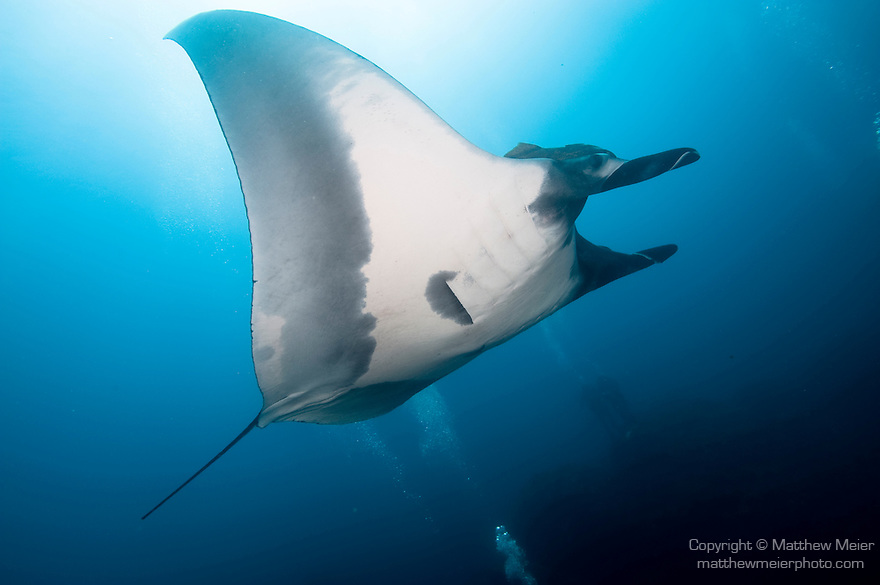 El Canon dive site, San Benedicto Island, Revillagigedos Islands, Mexico; Manta Ray (Manta birostris) , Copyright © Matthew Meier, matthewmeierphoto.com All Rights Reserved