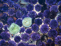 Close up of Purple Sea Urchins. Devils Punchbowl State Natural Area, Oregon