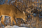 White-tailed buck munching on dried goldenrod.