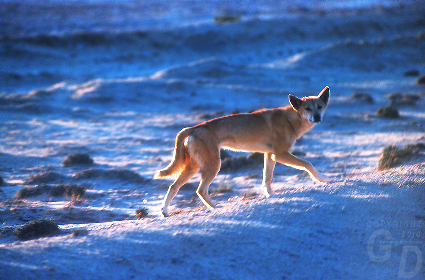 At sunset Wild Dingo, the endemic Australian wild Dog.