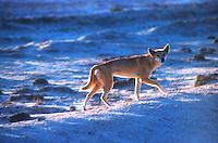 At sunset Wild Dingo, the endemic Australian wild Dog.
