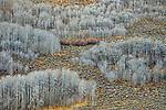Leafless aspens in the Eastern Sierra Nevada, California, USA