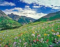 Alpine meadow of Columbine, Paintbrush, and Orange Sneezeweed, Mt. Sneffels Wilderness, Colorado