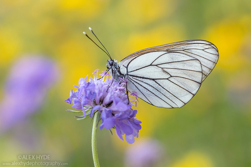 Black Veined White butterfly (Aporia crataegi) Nordtirol, Austrian Alps, Austria, July.