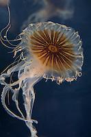 Kompassqualle, Kompass-Qualle, Kompaßqualle, Kompaß-Qualle, Qualle, Quallen, Chrysaora hysoscella, compass jellyfish, Compass-Jellyfish, Red-banded jellyfish, La méduse rayonnée, Schirmqualle, Schirmquallen