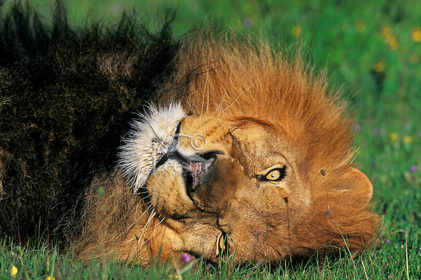Male African Lion resting.