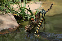 Red-striped Ribbon Snake as it drives its catch into the bank, just after the strike. Adult Southern Leopard Frog prey.