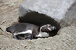 Humboldt Penguin resting at burrow entrance (Spheniscus humboldti).