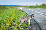 A young gray wolf standing along George Parks Hwy with a car passing by. Interior Alaska, Summer.