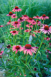 Echinacea Sundown in the flower beds that are located on the South side of the main residence.