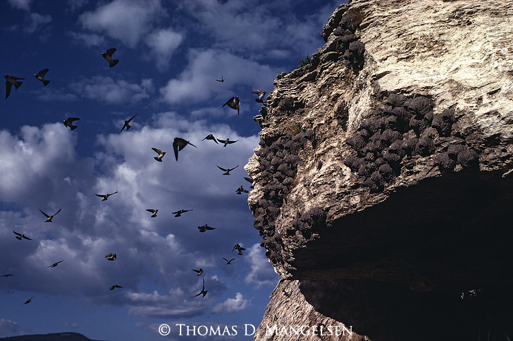 Cliff Swallows flying around their colony in Yellowstone National Park, Wyoming.