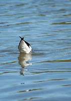 A Black-necked Stilt, Himantopus mexicanus, feeds in shallow water in the Riparian Preserve at Water Ranch, Gilbert, Arizona