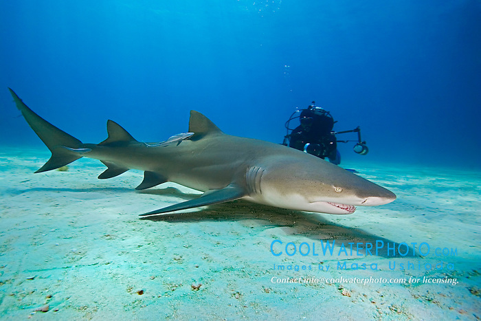 Lemon Shark, Negaprion brevirostris, and scuba diver, West End, Grand Bahama, Atlantic Ocean