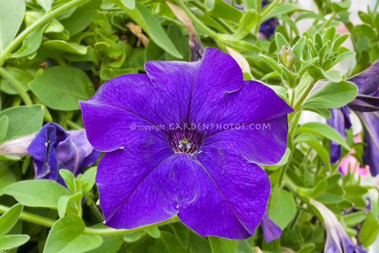 Petunia Fanfare Blue annual flowers