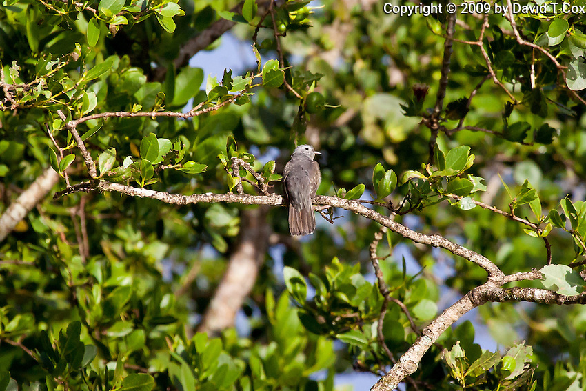Brush Cuckoo, Daintree River, Queensland, Australia